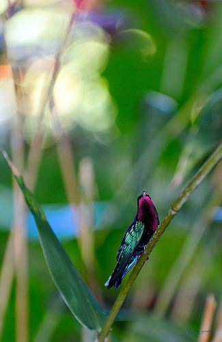 purple throated carib (1)