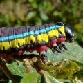 Cucullia sp. caterpillar (2)