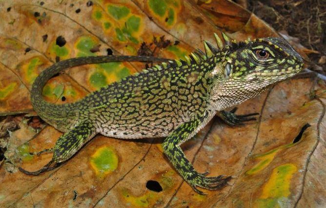 Enyalioides binzayedi, new species of lizard, woodlizard (5)
