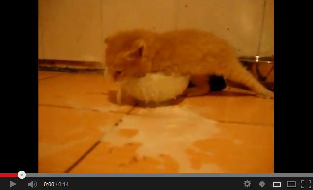 Kitten Investigates a Bowl of Milk. Brings the LOL's.