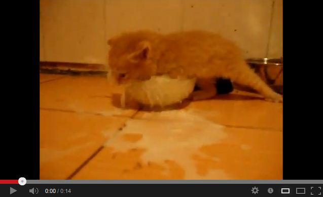 Kitten Investigates a Bowl of Milk. Brings the LOL's.