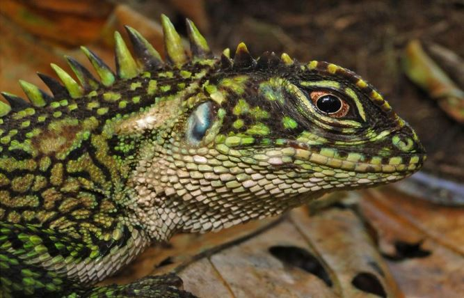 Peru Dazzles with New Species of Woodlizard