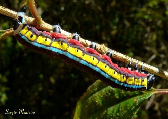 Cucullia sp. caterpillar (1)