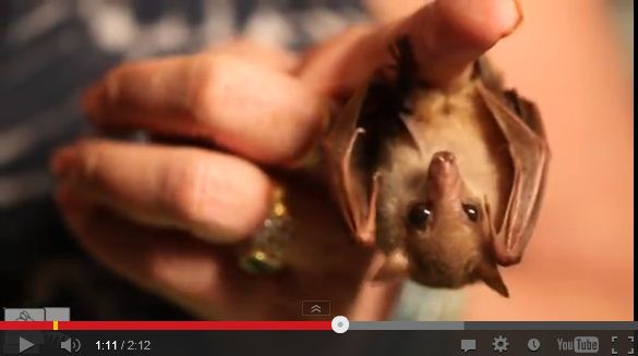 Watch Rescued Blossom the Bat Get Her Back Scratched, Amongst Other Adorable Things