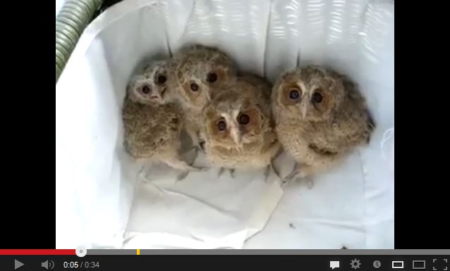 Living Furbies aka Baby Owls