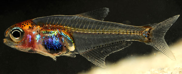 New species of see through rainbow fish discovered in for Rainbow fish species