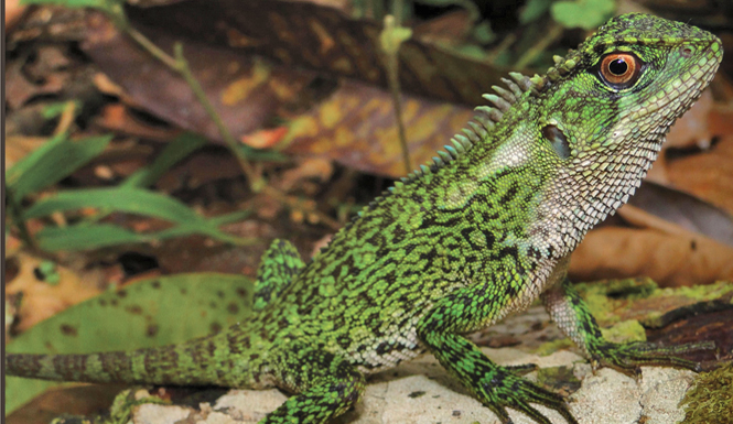 Enyalioides binzayedi, new species of lizard, woodlizard (3)