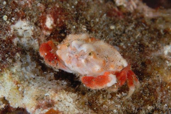 Nucia speciosa, raspberry crab (2)