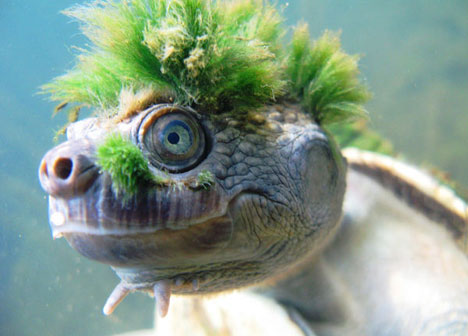 mary river turtle, Elusor macrurus (2)