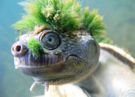 mary river turtle, Elusor macrurus (2)