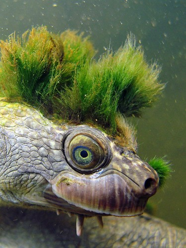 Meet the Ultra Punk-Rock Mary River Turtle That's Battling Extinction