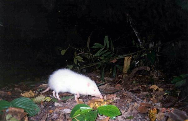 moonrat, Echinosorex gymnura (3)