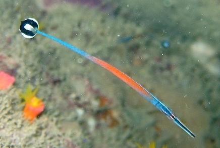 Doryrhamphus janssi, Janss' Pipefish (1)