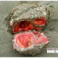 blood rock, Pyura chilensis (2)