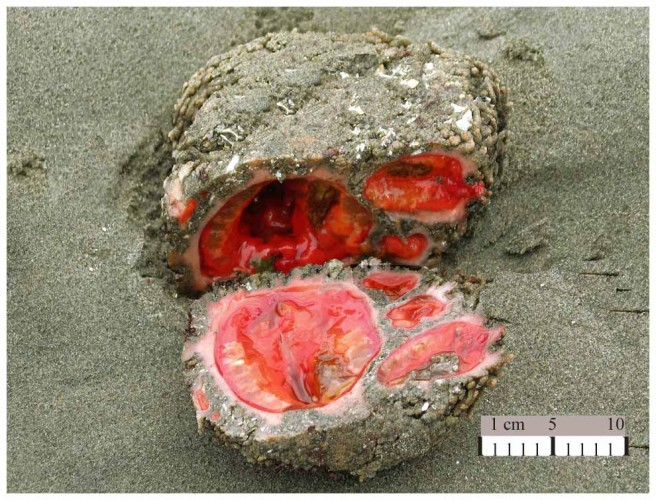 Bloody Disgusting: the Rock-like Creature That Looks Like It's Oozing Guts!