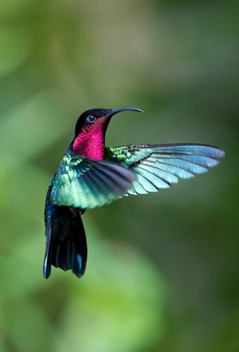 purple throated carib