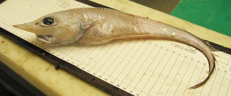 Trachyrincus murrayi, Roughnose grenadier (3)