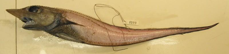 Trachyrincus murrayi, Roughnose grenadier (2)