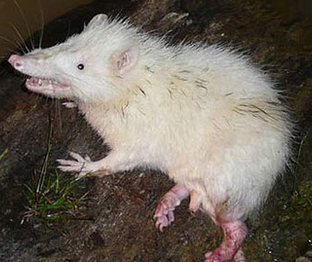 moonrat, Echinosorex gymnura (1)