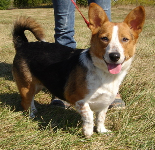 corgi beagle mix, corgi mixed breeds