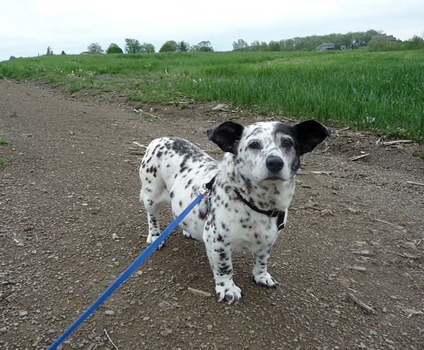 corgi dalmation mix breed, corgi mixed breeds