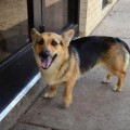 corgi german shepherd mix,