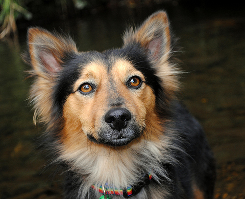 corgi german shepherd mix, corgi mixed breeds