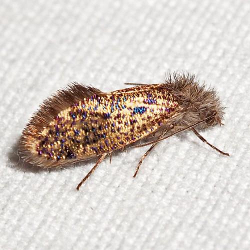 Dyseriocrania griseocapitella, leaf-miner moth (1)