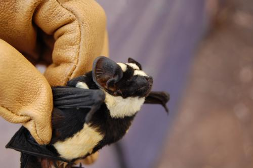 New Genus of Bat Discovered, Looks Just Like a Tiny Flying Badger!