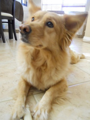 corgi golden retriever mix, corgi mixed breeds