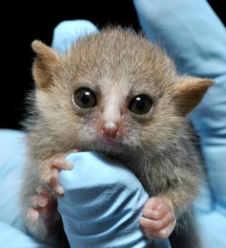 gray mouse lemurs, Microcebus murinus (2)