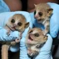 gray mouse lemur, Microcebus murinus (1)