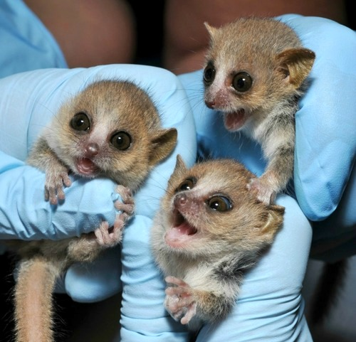 Behold the Cuteness: Tiny Gray Mouse Lemurs Born At Duke Lemur Center