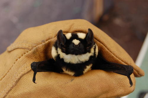 Niumbaha Superba, new genus of bat (1)