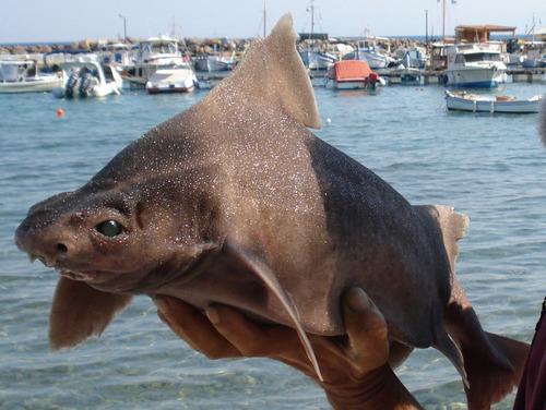 Angular Roughsharks Happen to Be Pretty Cute, As Far As Sharks Go