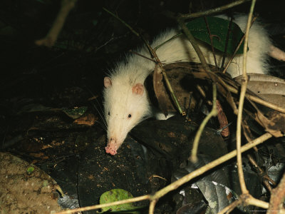 moonrat, Echinosorex gymnura
