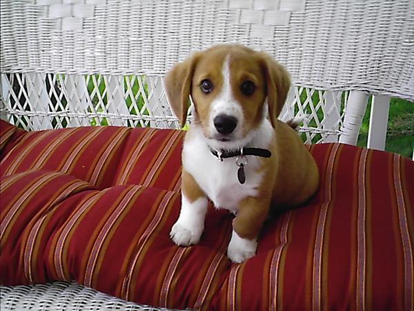 corgi beagle mix, corgi mixed breeds