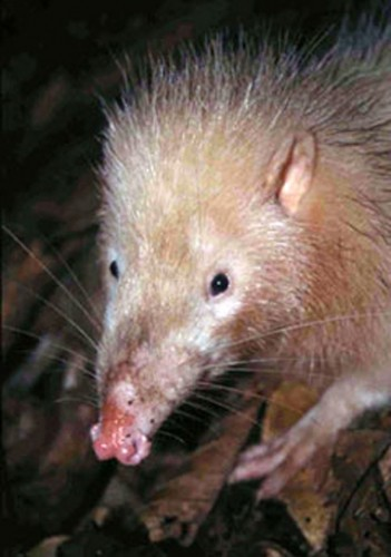 moonrat, Echinosorex gymnura (2)