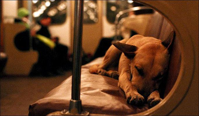 Stray Dogs of Moscow Have Learned to Take the Subway. Photos & Story are Incredible!