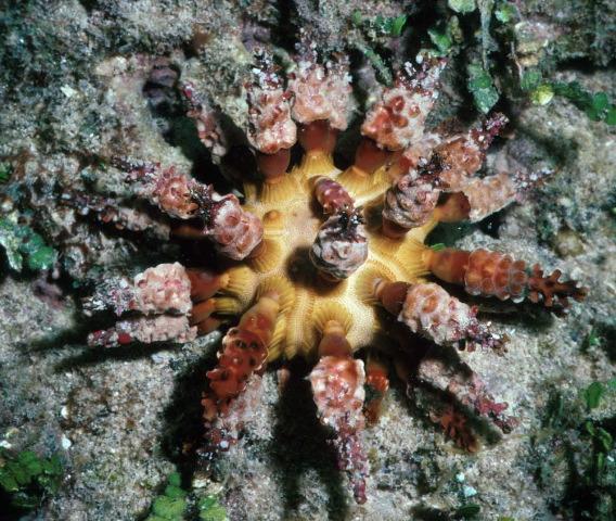 Chondrocidaris brevispina, short-spined urchin (4)