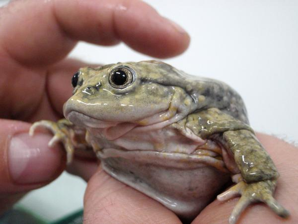 aquatic scrotum frog, lake titicaca frog, Telmatobius culeus (7)