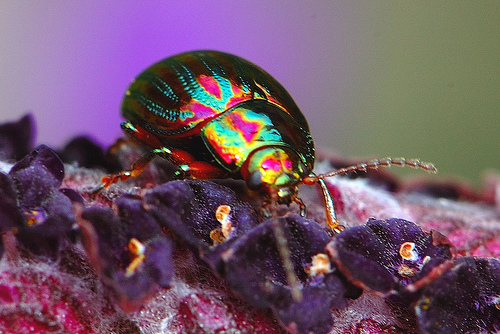 rainbow leaf beetle, Chrysolina cerealis (4)