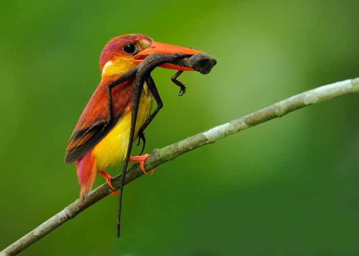 Rufous-backed Kingfisher, Ceyx rufidorsa (4)
