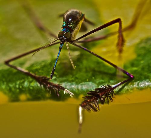 Sabethes cyaneus, mosquito (5)
