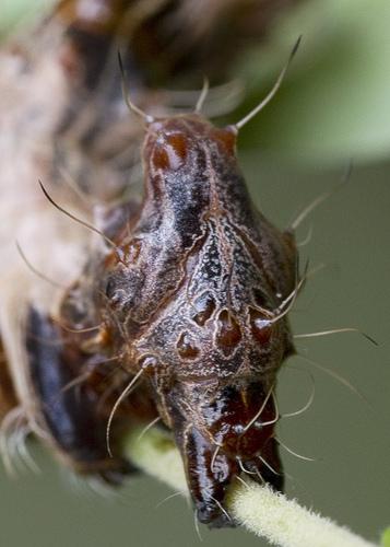 Harrisimemna trisignata, Harris' Three Spot, ugly caterpillar (7)