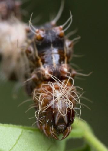 Harrisimemna trisignata, Harris' Three Spot, ugly caterpillar (6)