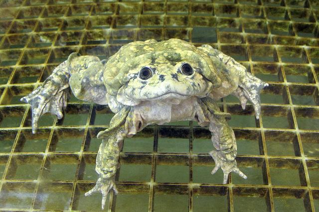 aquatic scrotum frog, lake titicaca frog, Telmatobius culeus (6)
