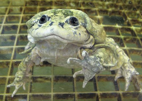 aquatic scrotum frog, lake titicaca frog, Telmatobius culeus (5)