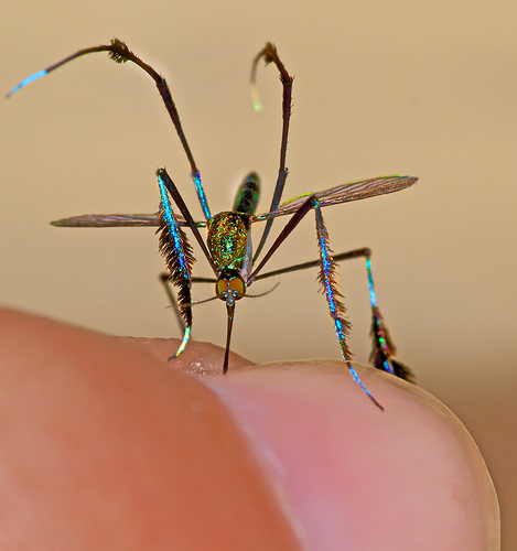 Sabethes cyaneus, mosquito (4)