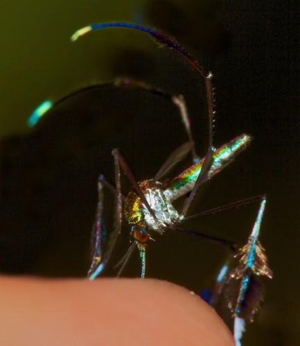 Sabethes cyaneus, mosquito (3)